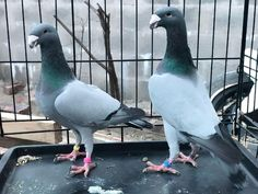 Find your perfect Quality German Beauty Homers on Birdtrader now! Browse a wider range of Pigeons today. Pigeon Pictures, Pigeon Breeds, Homing Pigeons, Month Colors, German, Birds, Khalid, Coops, Pakistan