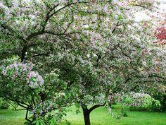 Prydnadsaplar - Malus Floribunda - Rosenapel Ska bara fundera färdigt (efter typ 5 år..) vilken apel som ska få bo på vår gräsmatta i vår...