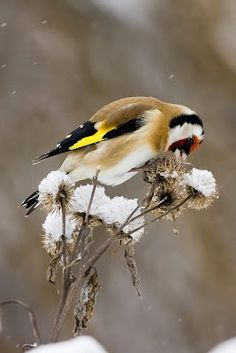 European Goldfinch - Szczygieł - Jilguero - Carduelis Carduelis  16.02.2013 In the park PdB, Madrid, Spain