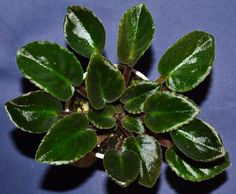 Optimara Little Aztek: (little indian series) This is a Miniature African violet plant from the optimara little indian series. The flowers are red in color with a white edge. They are bi-color and semi-double in type. The leaves are ovate in shape and serrated. They are dark green in color with a red reverse. It was hybridized in 1993.