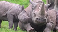 Baby rhino trying to get mom to play. Baby rhino trying to get mom to play. Cute Baby Animals, Animals And Pets, Funny Animals, Amazing Animals, Animals Beautiful, Rhino Tattoo, Animals Tattoo, Rhino Beetle, Save The Rhino