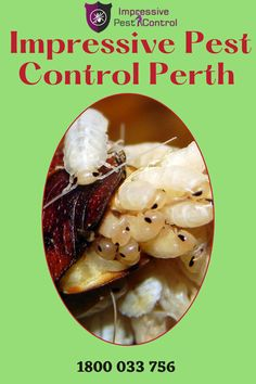 Whether a homeowner is looking for interior pest control solutions or ones that help reduce pesky rodents in the yard, Impressive Pest Control Perth has several viable options. Whether it's spring, summer, fall or winter, there are a variety of insects that make their way into yards and homes. Perth, Brisbane, Rodents, Pest Control, Insects, Bed Bugs Treatment