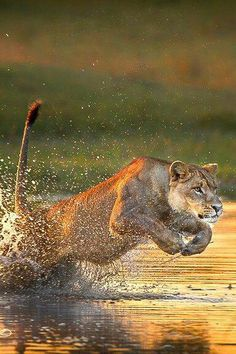 Wow - Lion Pic