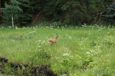 "laineymew: "" I admire the curiosity and gentleness of deer. """