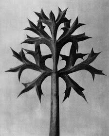 View Eryngium bourgatii by Karl Blossfeldt on artnet. Browse upcoming and past auction lots by Karl Blossfeldt. Karl Blossfeldt, Art For Sale Online, Online Art, Natural Forms, Natural Wonders, Nigella, Online Collections, Global Art, Flower Images