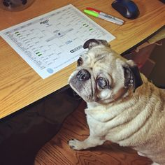 Pug filling out his March Madness #PugChat Bracket