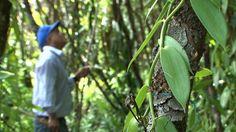 Les plantes qui produisent la vanille sont des orchidées qui portent elles-mêmes le nom de vanille, ou parfois de vanillier