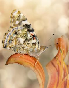 Painted Lady On Day Lily