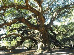 Angel-Oak-Charleston-SC