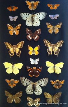 My Butterfly collection