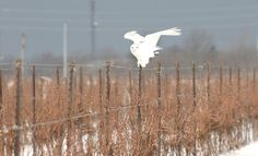 Rare snowy owl draws crowds in St. St Catharines, Snowy Owl, Local News, News Stories, Drawings, Animals, Animales, Animaux, Drawing
