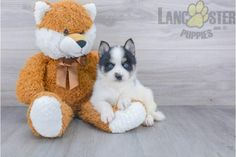 #Pomsky #Charming #PinterestPuppies #PuppiesOfPinterest #Puppy #Puppies #Pups #Pup #Funloving #Sweet #PuppyLove #Cute #Cuddly #Adorable #ForTheLoveOfADog #MansBestFriend #Animals #Dog #Pet #Pets #ChildrenFriendly #PuppyandChildren #ChildandPuppy #BuckeyePuppies www.BuckeyePuppies.com Pomsky Puppies For Sale, Mans Best Friend, Puppy Love, Teddy Bear, Pets, Children, Animals, Young Children, Animaux