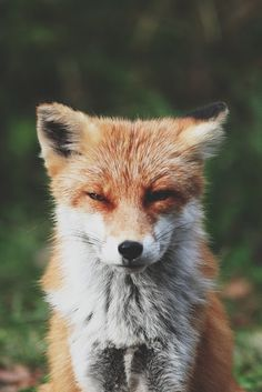 My, what a foxy face you have, dear.