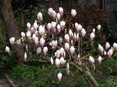 Betty Magnolia : Deciduous shrub or small tree; 10 ft. height with 8 ft. spread; attractive accent for the smaller landscape or garden; upright, rounded form; large purple-red flowers with white interior open prior to the glossy green foliage; sun or partial shade; prefers loamy, moist, well-drained, acidic soil.
