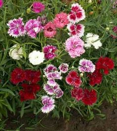 Chinese Pinks Wildflowers, Dianthus chinensis