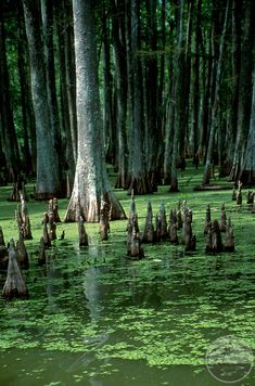 Bayou Photo Louisiana Swamp | Louisiana, USA featuring Spring water lilies in the Cypress tree swamp ...