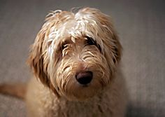Labradoodles, a cross between a Labrador retriever and a poodle, have become a popular