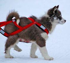 Canadian Eskimo Dog 23 Malamute Puppies, Siberian Husky Puppies, Alaskan Malamute, Siberian Huskies, Canadian Eskimo, Greenland Dog, Dangerous Dogs, Dog Search, Cute Dogs And Puppies