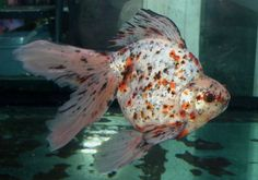 Ryukin (Goldfish) Ryukin Goldfish, Comet Goldfish, Goldfish Bowl, Parrot Fish, Aqua Culture, Freshwater Aquarium Fish, Fish Finder, Beautiful Fish, Colorful Fish