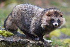 The Raccoon Dog, aka mangut or tanuki, is native to Asia. Sadly, it's farmed for its fur in China and Finland. The fur has been widely misrepresented as fake fur or as that of a different species. (Click for more about the raccoon dog.) / The Humane Society