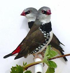 div. tropen: bandvinken, spitsstaarten, enz. | Tropische vogels advertenties