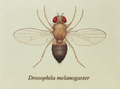 This illustration depicts a dorsal view of the 'Common fruit' fly, or 'Vinegar' fly, Drosophila melanogaster, a member of the family Drosophilidae. - Free Stock Photo Id: 15432 MB) Types Of Ticks, Fly Drawing, Flying Tattoo, Plant Breeding, Fruit Flies, Fun Cup, White Ink, Photo Illustration