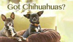 Got Chihuahuas? Never leave home without 'em!....