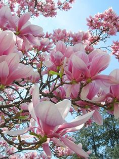 The Magnolia are the first ones to bloom. – Yorxs The Magnolia are the first ones to bloom. The Magnolia are the first ones to bloom. Magnolia Trees, Magnolia Flower, Magnolia Mom, Saucer Magnolia Tree, Magnolia Stellata, My Flower, Beautiful Flowers, Magnolia