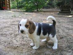 The cutest beagle pup