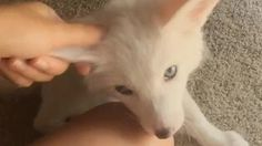 Adorable fox loves getting ear rubs - GIF on Imgur