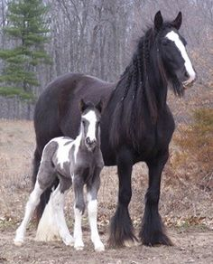 Oh my, stunning horses, big mare and fuzzy sweet foal.