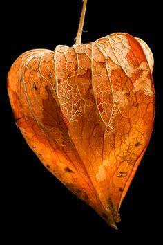 Chinese Lantern (Physalis Franchetii) calyce