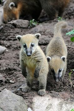 The Coati Mundi, closely related to racoons, is a curious, clever, and affectionate critter.