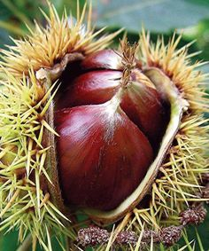 Chestnuts. He loved to eat them, but we both hated trying to mow over them in the yard!