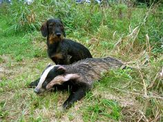 A Teckle with a badger.