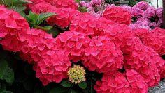 planta hortensias
