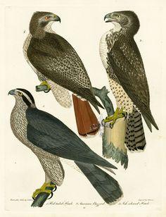 Alexander Wilson Bird Prints American Ornithology Goshawk