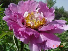 Пион Рока отличается морозпстойкостями и засухами , к тому же он имеет высокая растения , большие и красочные армотые цветы . Цветущие Кустарники, Сливы, Дневные Лилии, Семена Цветов, Многолетние Растения, Дикие Цветы, Ягоды