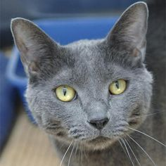 Chauncey is available for adoption through Best Friends Animal Society.  Sings for his supper&#33Chauncey is a friendly cat who is happy to get some loving. Not at all shy, he&#39s on the lookout for an empty lap...