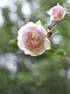 https://flic.kr/p/R3qgqJ | Rose in winter | バラ ローズマリー Rose 'Rose-Marie'    in my garden