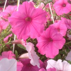 Vista petunias, bubblegum & silverberry vista petunias form a ball and trail Hanging Baskets, Petunias, Bubble Gum, Trail, Plants, Fall Hanging Baskets, Planters, Plant, Chewing Gum