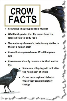 They can also remember your face, communicate that information to other crows, and hold that grudge for years. But if you throw them peanuts they're super cool to hang out with. Crow Facts, Raven Facts, Bird Facts, Crow Spirit Animal, Animal Spirit Guides, Coyote Hunting, Pheasant Hunting, Archery Hunting, Cool Ideas