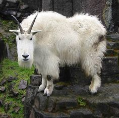 The mountain goat shows climbing abilities that leave other animals, including most humans, far below.