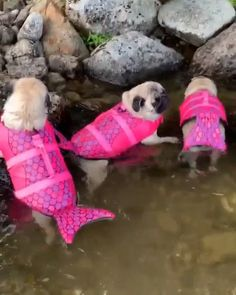 "See our site for additional details on ""pug puppies"". It is a superb place to read more. Funny Animal Videos, Cute Funny Animals, Cute Baby Animals, Funny Dogs, Animals And Pets, Crazy Animals, Cute Pug Puppies, Cute Dogs, Dogs And Puppies"