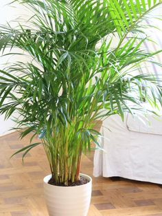 Parlor palm. Like many houseplants, the parlor palm is geared toward life in a tropical forest, so even if it's positioned several feet from a window, it will do fine