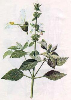 Лікарські рослини | Васильки справжні