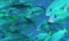 blue goatfish - Google Search