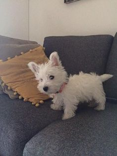 Westie are so adorable! Westie Puppies, Rottweiler Puppies, Westies, Cute Puppies, Cute Dogs, Dogs And Puppies, Doggies, Chihuahua Dogs, West Highland Terrier