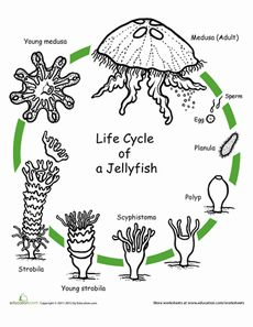Color the Life Cycle: Jellyfish Worksheet