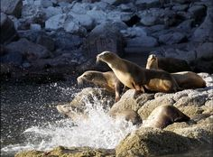 California Sea Lions  Lindblad Expeditions: Tonic Of Wildness In The Sea Of Cortez (PHOTOS)